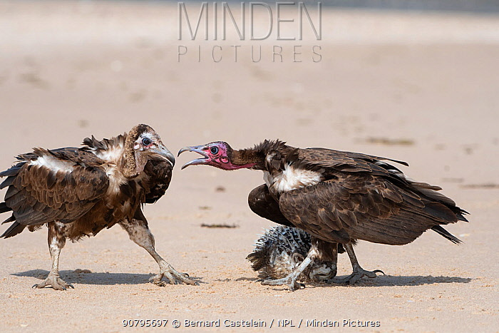 Hooded vulture (Necrosyrtes monachus), two fighting over Pufferfish, Gambia.