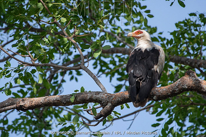 Palm-nut vulture (Gypohierax angolensis) perched in tree, Gambia.