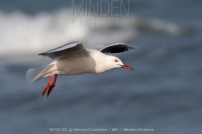 Slender-billed gull (Chroicocephalus genei) in flight, Gambia.