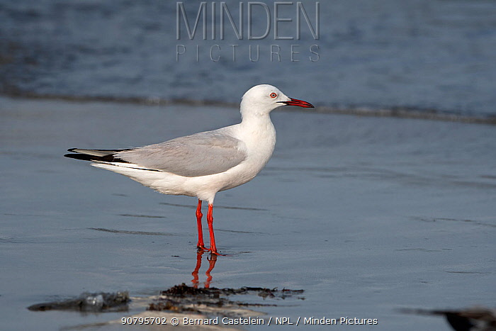 Slender-billed gull (Chroicocephalus genei) standing at water's edge, Gambia.
