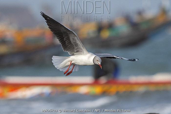Grey-headed gull (Larus cirrocephalus) in flight, Tanji, Gambia.