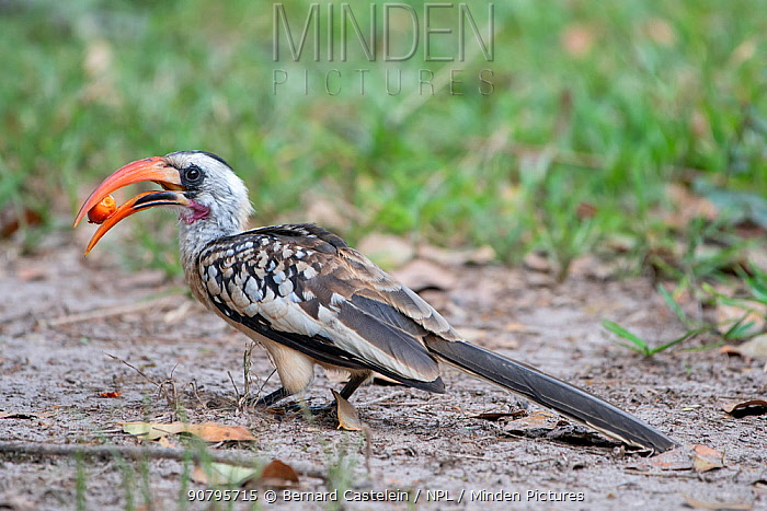 Western red billed hornbill (Tockus kempi) feeding on fruit, Gambia.