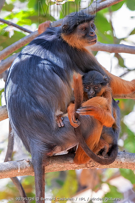 Temminck's western red colobus (Piliocolobus temminckii), mother and baby in tree, Gambia.