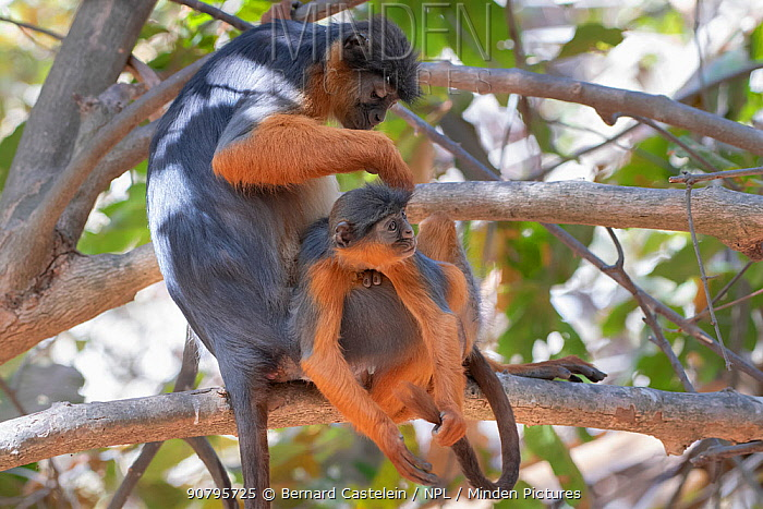 Temminck's western red colobus (Piliocolobus temminckii), mother grooming baby in tree, Gambia.