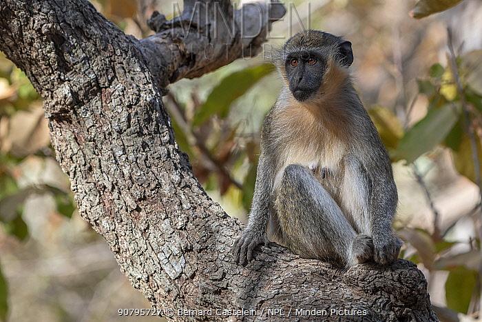 Green monkey (Chlorocebus sabaeus) sitting in tree, Gambia.