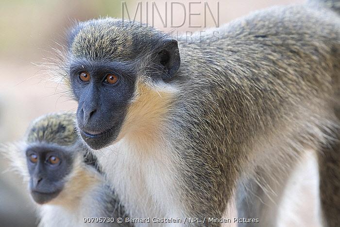 Green monkey (Chlorocebus sabaeus), two. Gambia.