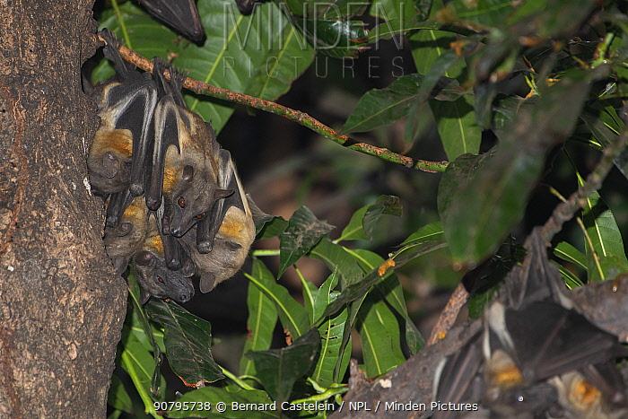 Straw-coloured fruit bat (Eidolon helvum), group roosting. Lamin, Gambia.