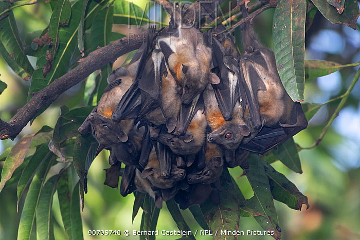 Straw-coloured fruit bat (Eidolon helvum) colony roosting, Lamin, Gambia.