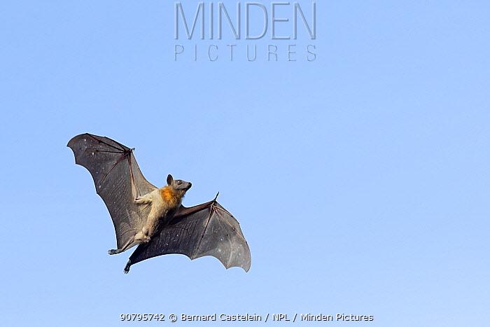 Straw-coloured fruit bat (Eidolon helvum), male flying, Lamin, Gambia.