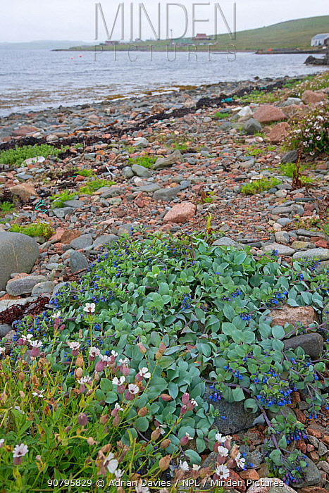 Oyster plant (Mertensia maritima) and Sea campion (Silene uniflora) on shingle beach, Hillswick, Shetland, Scotland, UK. June 2018.