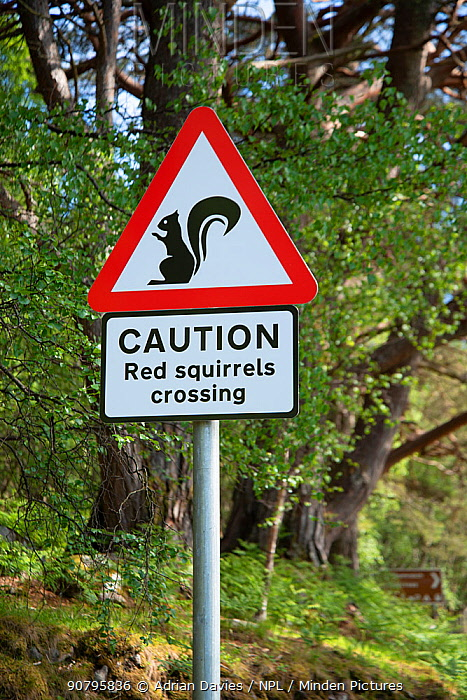 Sign warning drivers of Red squirrel (Sciurus vulgaris) crossing. Re-introduction project, Torridon, Scotland, UK. May 2018.