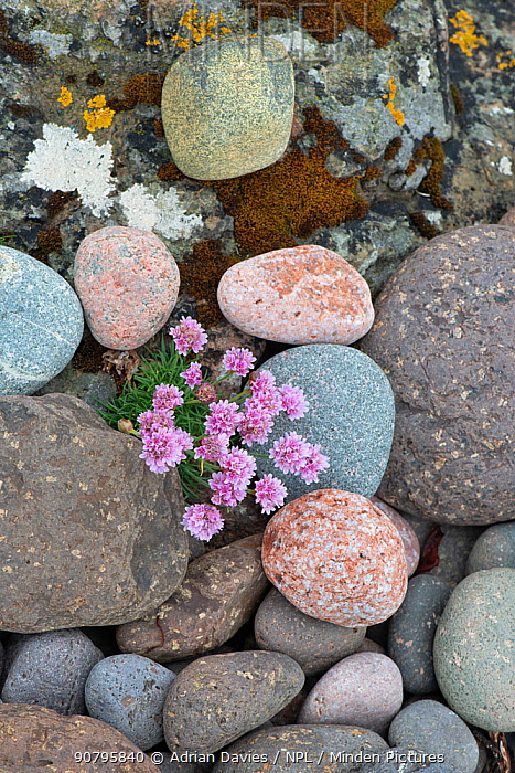 Thrift (Armeria maritima) growing amongst pebbles. Shetland Isles, Scotland, UK. June.