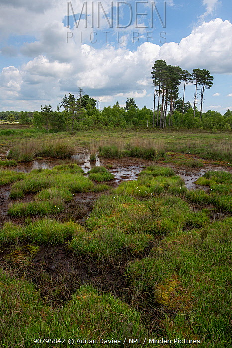 Lowland peat bog with deciduous and pine woodland in background, Thursley National Nature Reserve, Surrey, England, UK. June 2018.