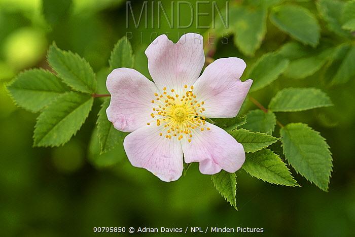 Dog rose flower (Rosa canina) Hampshire, England, UK. June.