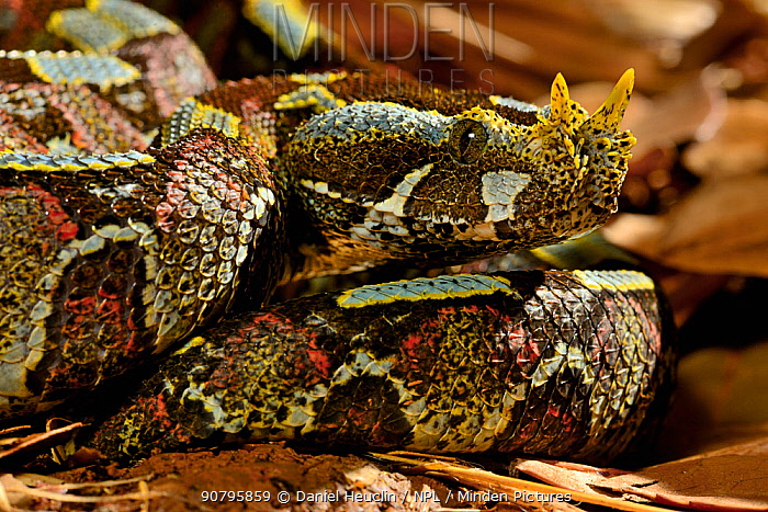 Butterfly / Rhinoceros viper (Bitis nasicornis). Captive. Occurs in West and Central Africa.