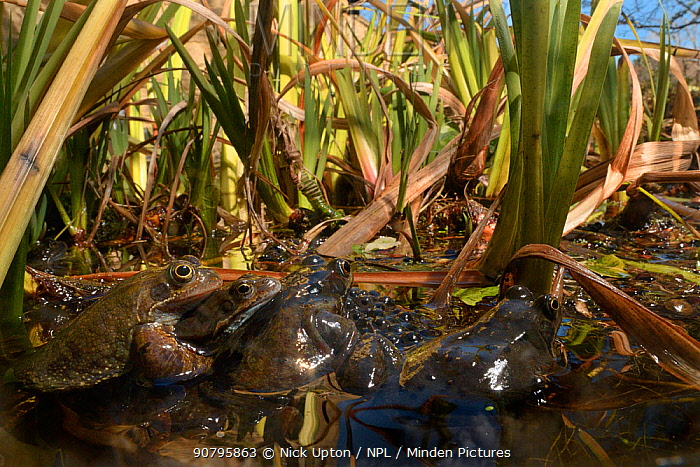 Common frogs (Rana temporaria) mating and spawning in garden pond, Bradford-on-Avon, Wiltshire, England, UK. March.