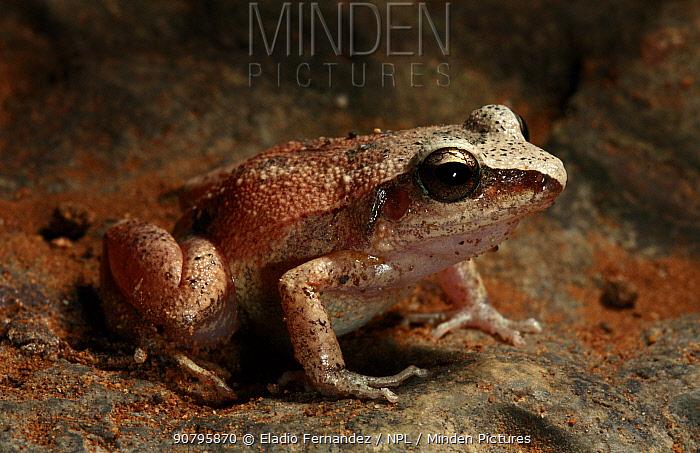 Cuba groin-spot frog (Eleutherodactylus atkinsi) Cuba, Endemic.
