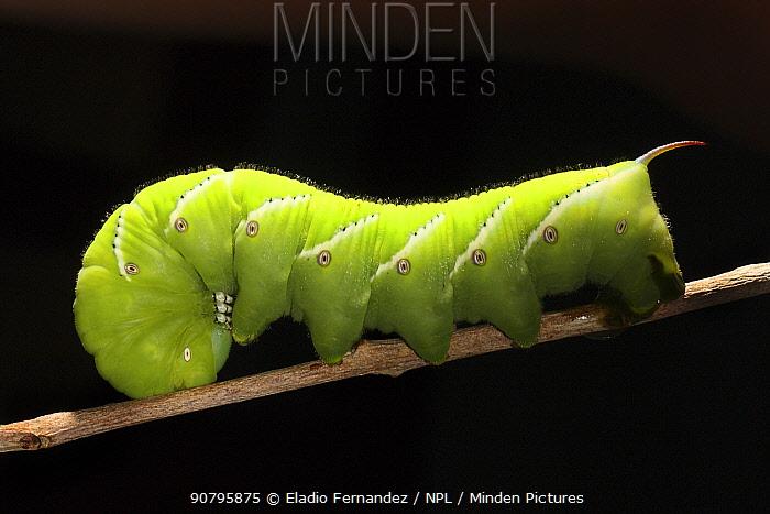 Tobacco hornworm caterpillar (Manduca sexta) Cuba.
