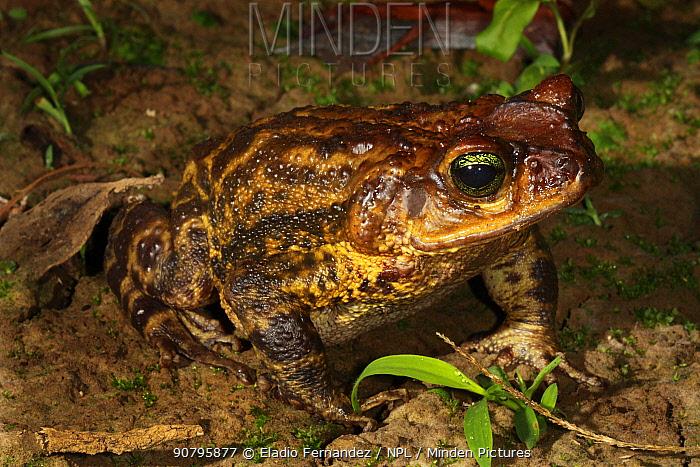 Western giant toad (Peltophryne fustiger) portrait, Cuba. Endemic.