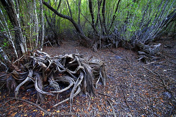 Broad leaf forest that temporarily floods, Cienaga de Zapata UNESCO Biosphere Reserve, Cuba.