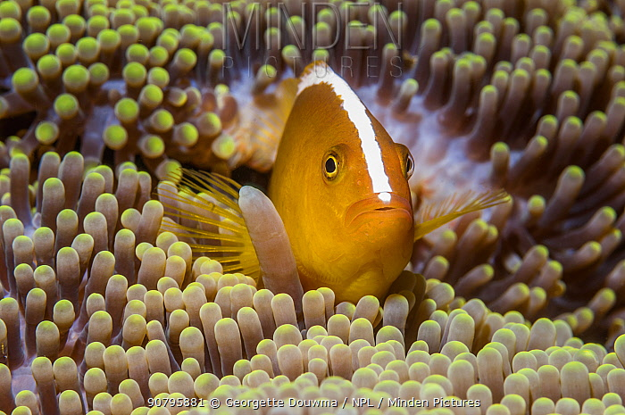 Orange skunk clownfish (Amphiprion sandaracinos) in anemone, Puerto Galera, Philippines.