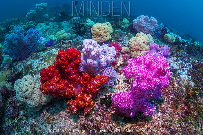 Soft corals (Dendronephthya sp.) on coral reef. West Papua; Indonesia.