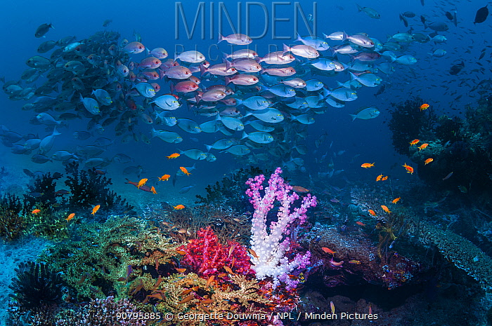 Shoal of Slender pinjalo snappers (Pinjalo lewisi) swimming over soft corals on coral reef. West Papua, Indonesia.