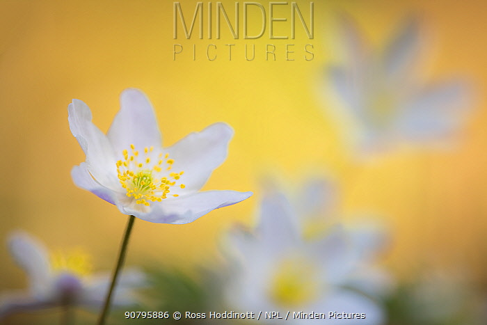 Wood anemone flower (Anemone nemorosa) Devon, UK. April.