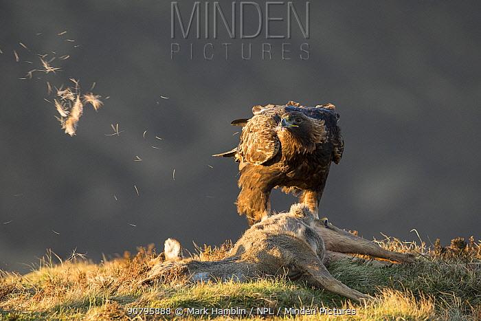 Golden eagle (Aquila chrysaetos) adult feeding on Roe deer (Capreolus capreolus) carcass, Isle of Skye, Scotland, UK, February. Highly commended in the British Wildlife Photography Awards (BWPA) Competition 2018.