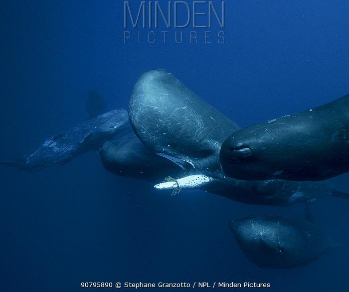 Sperm whales (Physeter macrocephalus) Indian Ocean.
