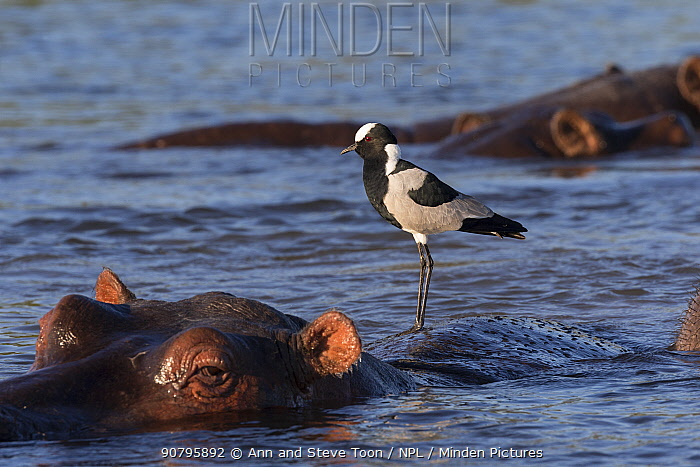 Blacksmith lapwing (Vanellus armatus) perched on hippo (Hippopotamus amphibius) Chobe river, Botswana.