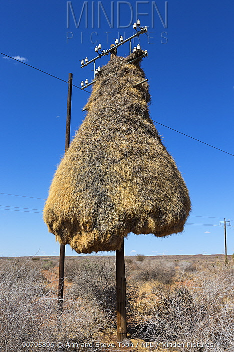 Sociable weaver (Philetairus socius) nest on telegraph pole, Northern Cape, South Africa.