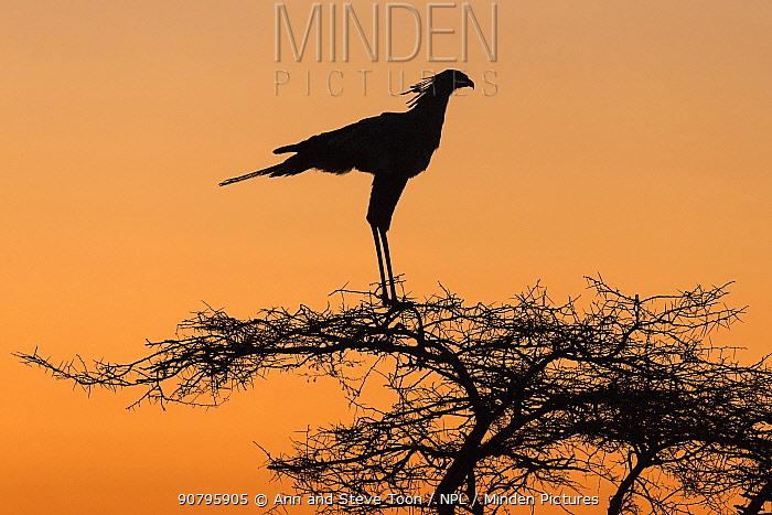 Secretarybird (Sagittarius serpentarius) silhouetted at roost in tree, Zimanga Private Game Reserve, KwaZulu-Natal, South Africa.