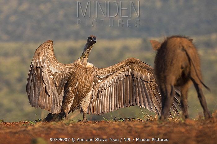 Whitebacked vultures (Gyps africanus) threat display to Warthog (Phacochoerus africanus) Zimanga Private Game Reserve, KwaZulu-Natal, South Africa.