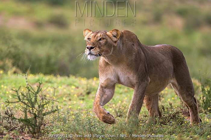 Lion (Panthera leo) pregnant female stalking, Kgalagadi Transfrontier Park, South Africa.