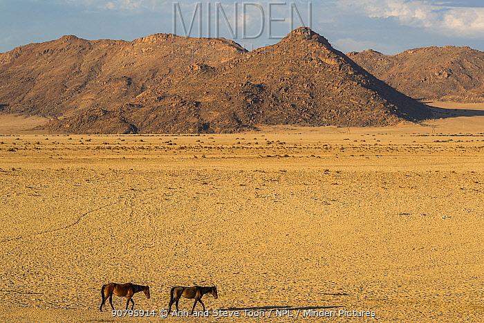 Wild horses in desert, Aus, Namibia, February 2017