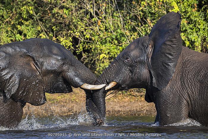 African elephants (Loxodonta africana) playfighting in Chobe river, Chobe National Park, Botswana.