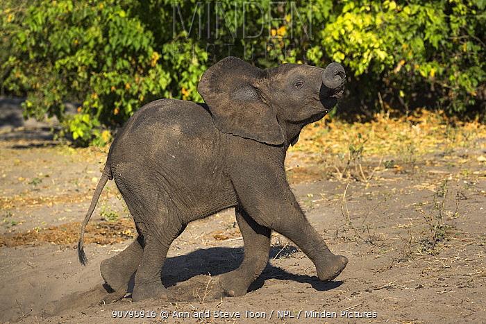 African elephant (Loxodonta africana) baby running, Chobe National Park, Botswana.