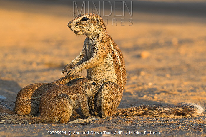 Ground squirrels (Xerus inauris) suckling young, Kgalagadi Transfrontier Park, Northern Cape, South Africa.
