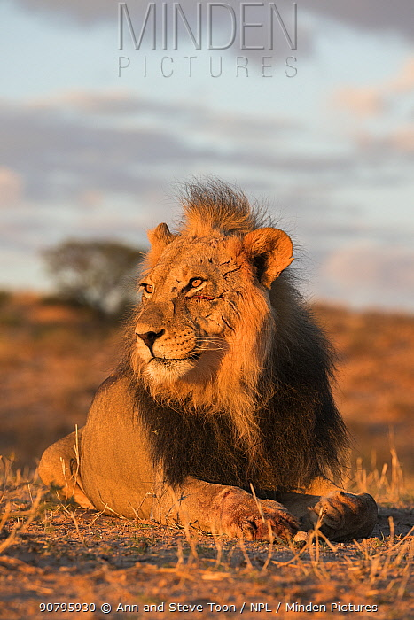 Lion (Panthera leo) male with claw mark scars on face, Kgalagadi Transfrontier Park, South Africa.