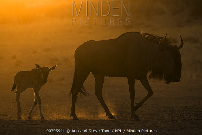 Common wildebeest (Connochaetes taurinus) with calf silhouetted, Kgalagadi Transfrontier Park, South Africa.