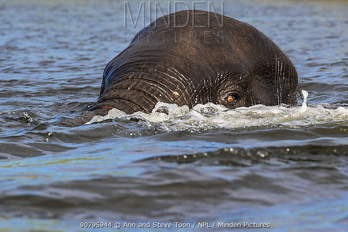 African elephant (Loxodonta africana) submerged in Chobe river, Chobe National Park, Botswana.