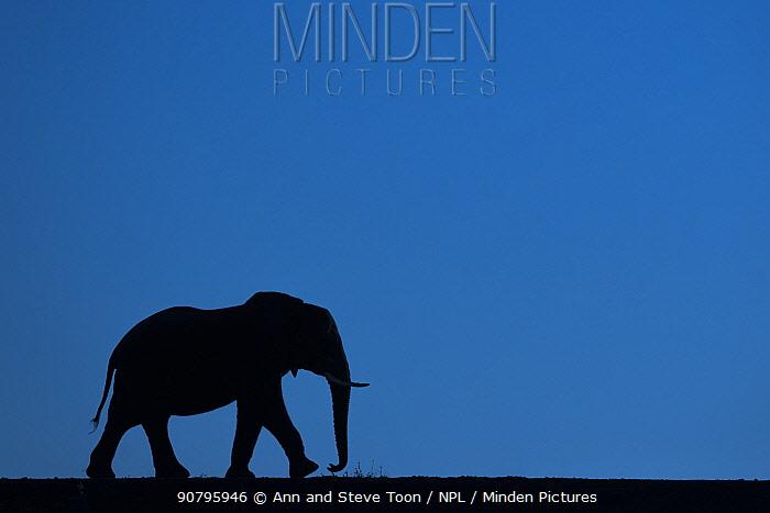 African elephant (Loxodonta africana) silhouette, Zimanga private game reserve, KwaZulu-Natal, South Africa.