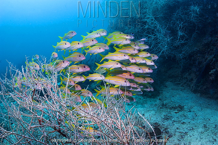Yellowfin goatfish (Mulloidchthys vanicolensis) with black corals. Triton Bay, West Papua, Indonesia.