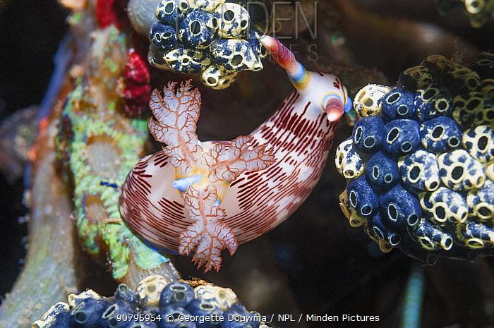 Nudibranch (Nembrotha lineolata) feeding on ascidians. Puerto Galera, Philippines.