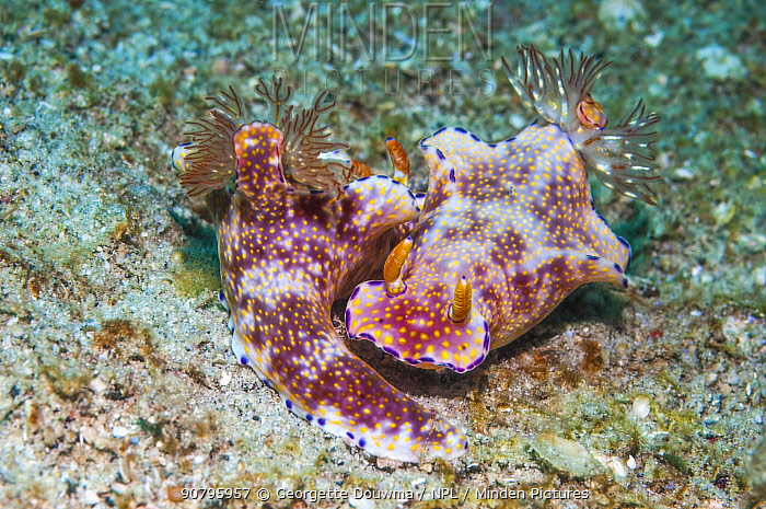 Nudibranch (Ceratosoma sp.) pair. Puerto Galera, Philippines.