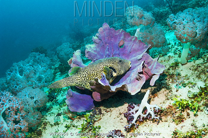 Map puffer (Arothron mappa) at rest on a sponge. West Papua, Indonesia.
