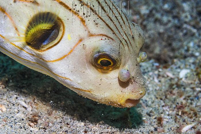 Striped puffer (Arothron manilensis) with deformed 'nostrils'. Puerto Galera, Philippines.