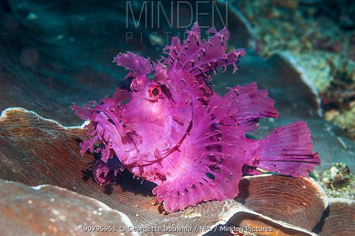 Paddle-flap scorpionfish (Rhinopias eschmeyeri) Puerto Galera, Philippines.