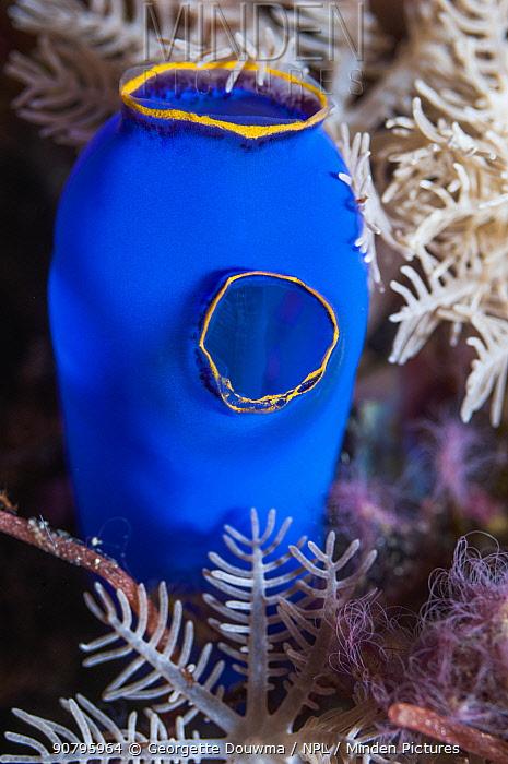 Blue sea squirt (Clavellina caerulea) Puerto Galera, Philippines.